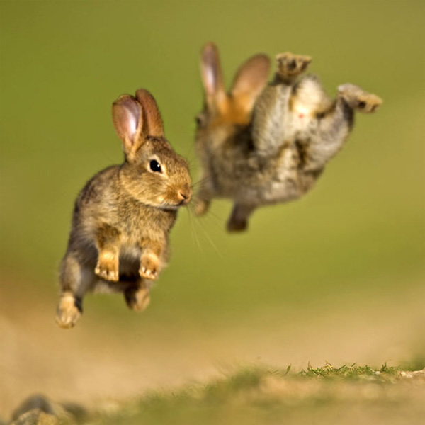 two_jumping_rabbits_bunnies