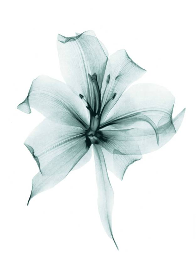 X-ray image of lily flower